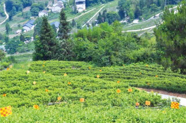 来自千年茶岭的好茶——大进巴渠茶叶